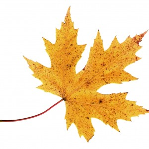 Golden Leaf digital whisper
